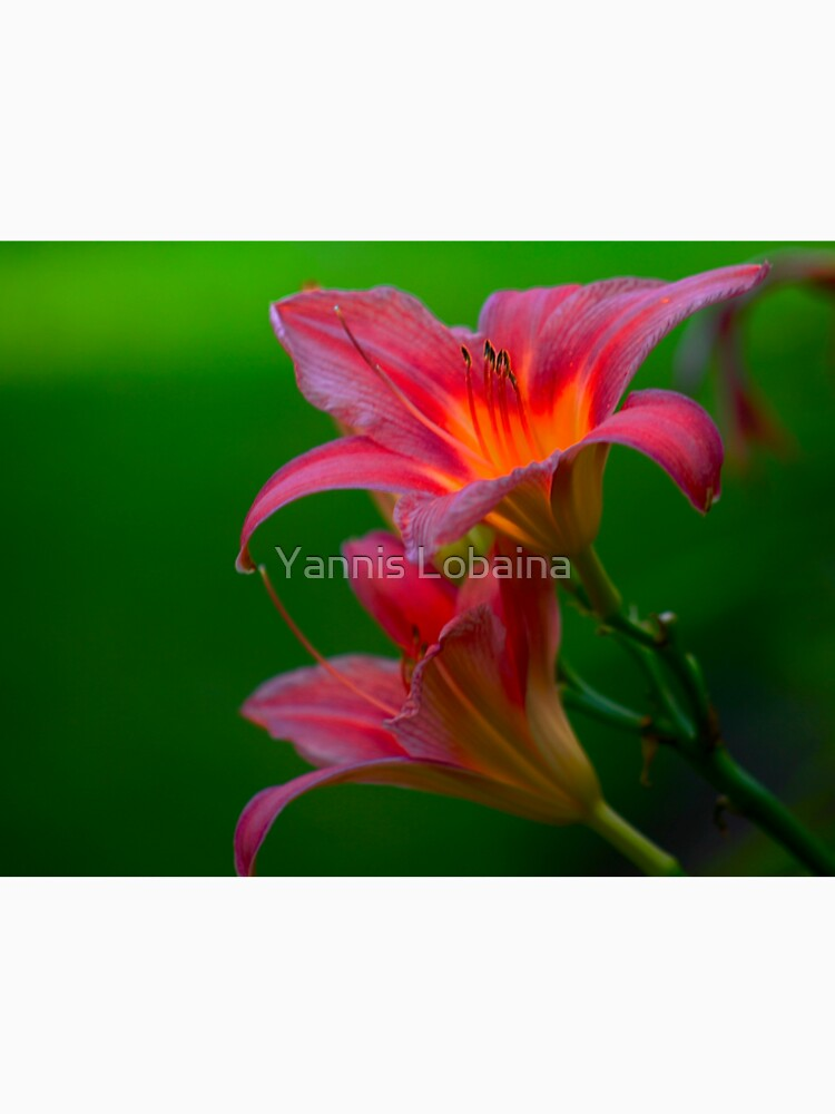 The beloved Lily by Yannis Lobaina  by lobaina1979