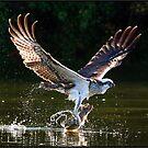 Osprey  486  Crop by John Van-Den-Broeke