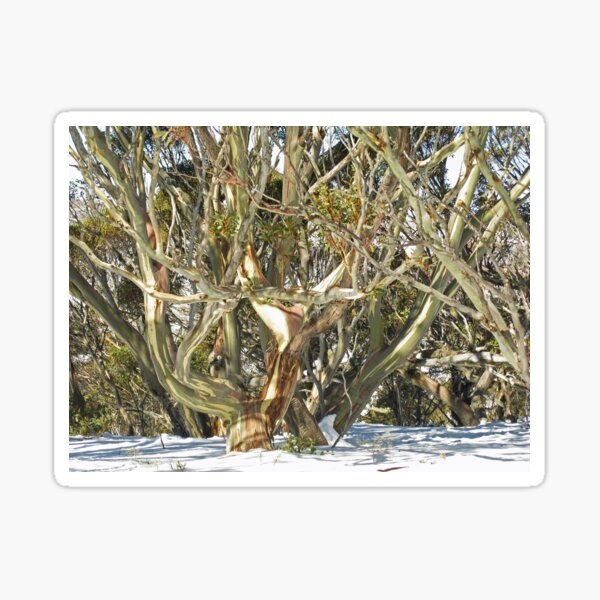 Colours of an entwined Snow Gum Sticker