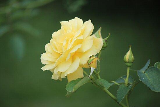 Yellow Canadian by Bob Hardy