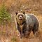 Bears, Moose, Elk and Mountain Goats