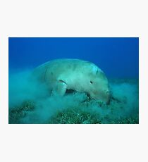 Dugong feeding on sea grass Photographic Print