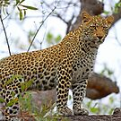 Trees are for leopards! by Anthony Goldman