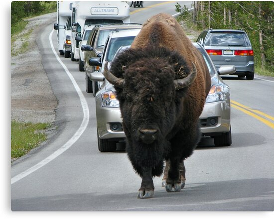 Bison Jam...stay focused! by James Anderson