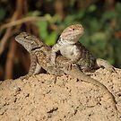 Desert Spiny Lizard (Juveniles) by Kimberly Chadwick