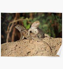 Desert Spiny Lizard (Juveniles) Poster