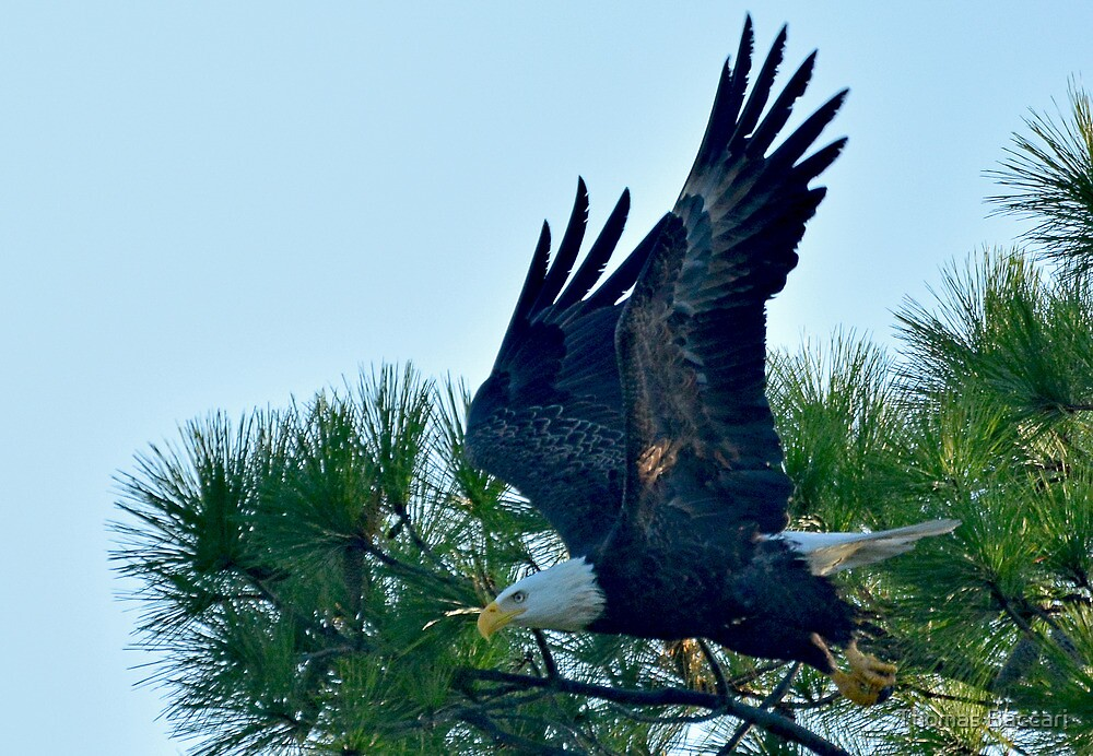 Bald Eagle Leaps Into Action by TJ Baccari Photography