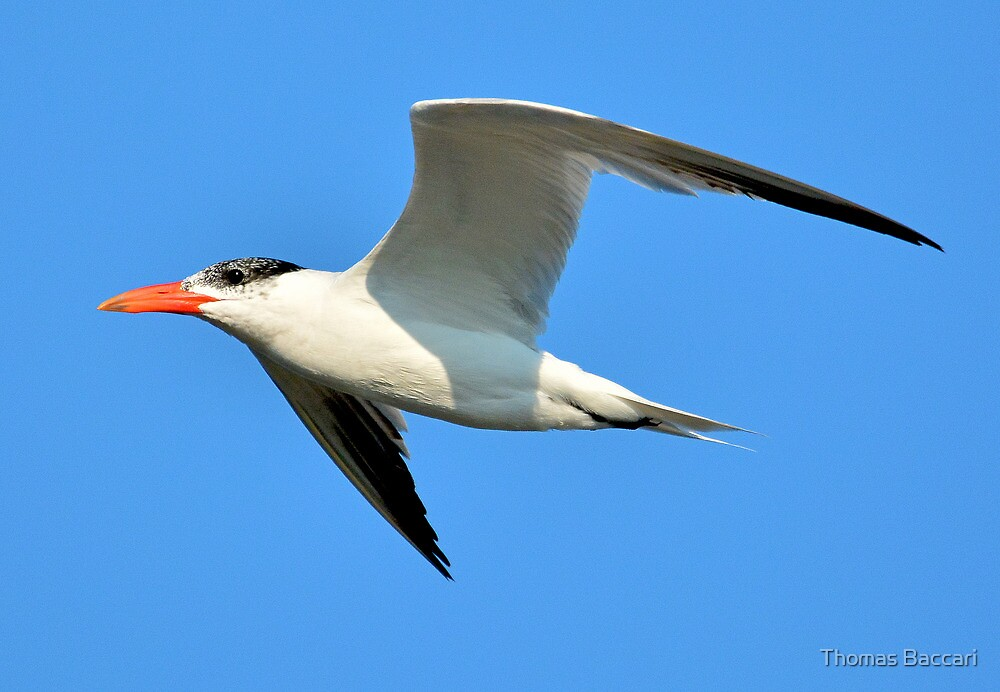 A Tern Fly By against the blue SC sky by TJ Baccari Photography