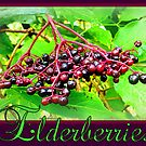 Elderberries by ©The Creative  Minds