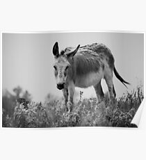 Equine Donkey Black and White Poster