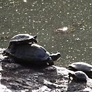 Turtles, Central Park, New York City  by lenspiro