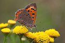 Small Copper on Ragwort - Lycaena phlaeas by Lepidoptera