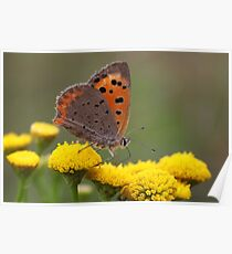 Small Copper on Ragwort - Lycaena phlaeas Poster