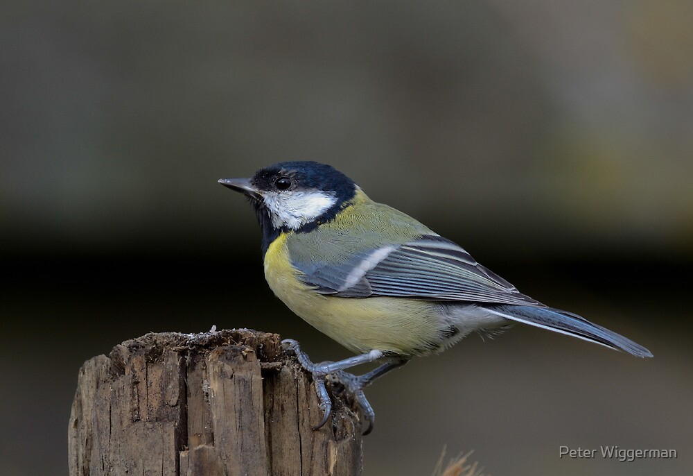 Great tit by Peter Wiggerman