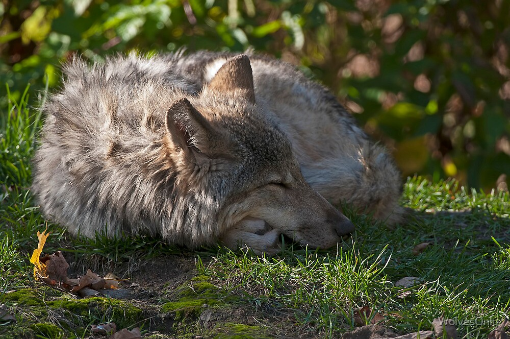 Taking A Nap by WolvesOnly