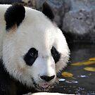 Wang Wang - Adelaide Zoo Panda by chijude