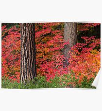 Vine Maples and PineTrees  Poster