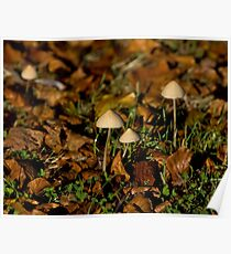 Toadstools in early morning sun Poster