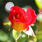 Rose Bud by Chet  King