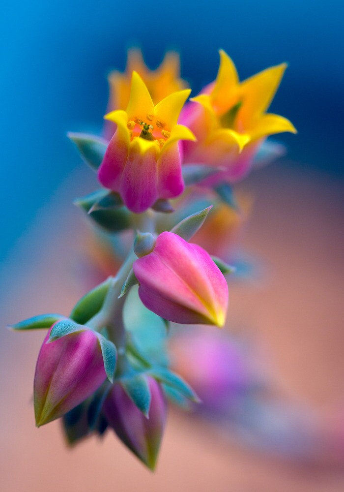 Echeveria cheering up the photographer by alan shapiro
