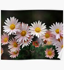 Touch Of Pink Daisy Mums II Poster