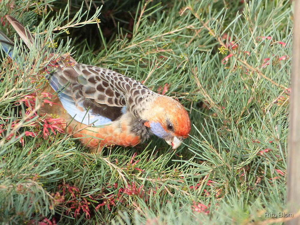 Adelaide Rosella eating Grevillea flower. by Rita Blom