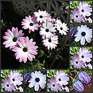 Pretty Cape Daisies Collage von BlueMoonRose