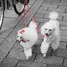 Japanese French Poodles by Colin  Ewington