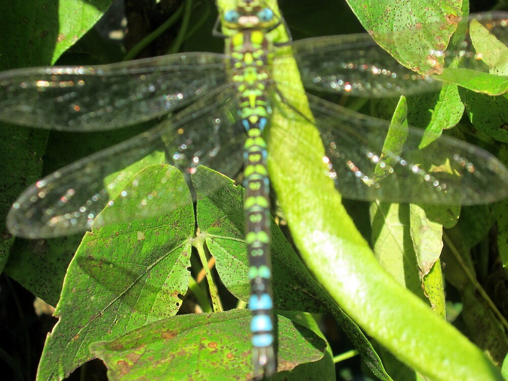 a lovely dragon fly asleep on my beans by margaret hanks