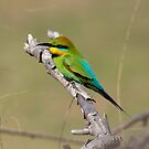 Rainbow Bee Eater Returns for  2013 by Kym Bradley
