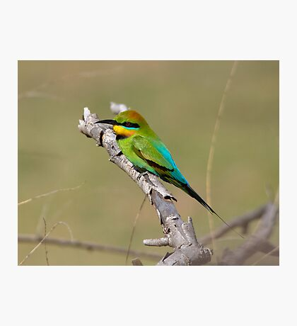 Rainbow Bee Eater Returns for  2013 Photographic Print