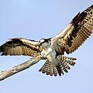 Osprey  by Michael Damanski