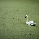 A Swan in Murky Water by EdwardKay