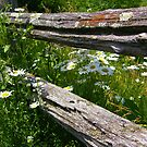 Daisies by the fence by marchello