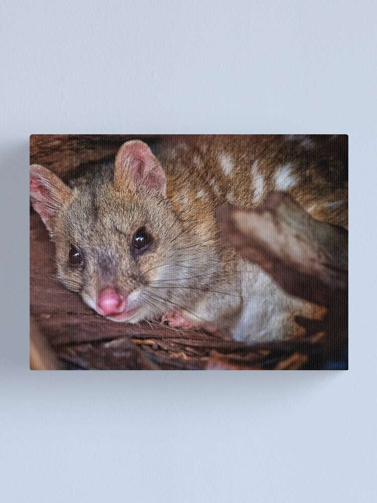 Alternate view of eastern quoll Canvas Print