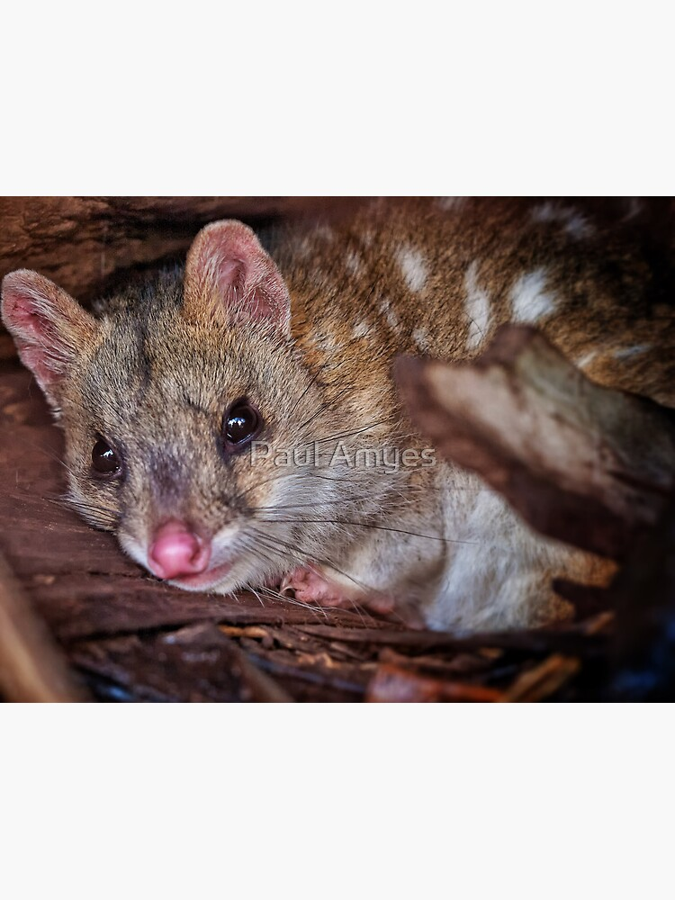 eastern quoll by AmyesPhotograph