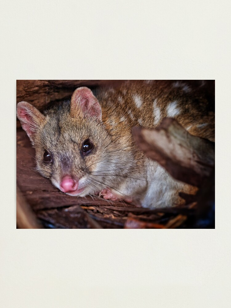Alternate view of eastern quoll Photographic Print