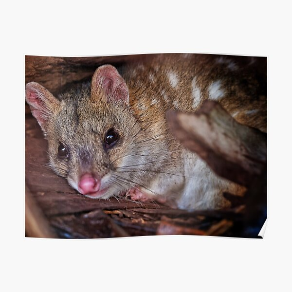eastern quoll Poster