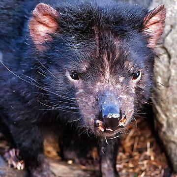 Tasmanian Devil by AmyesPhotograph