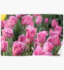 Pink Tulips, Corbett Garden, Bowral Poster