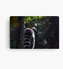 Ring Tailed Lemur Bum Canvas Print