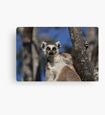 I'm A Ring Tailed Lemur Canvas Print