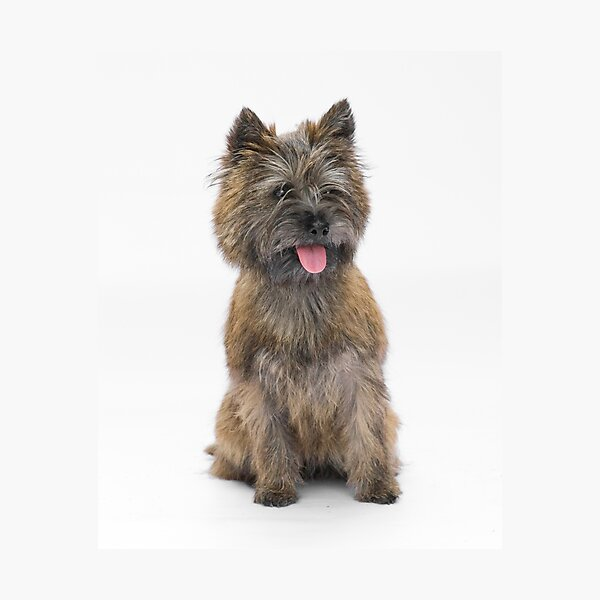 Cairn Terrier 3 Photographic Print