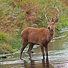 Red Stag in stream by Alan Forder
