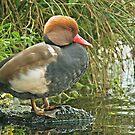 Red Crested Pochard by Alan Forder