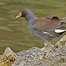 Moorhen with infected leg by Alan Forder