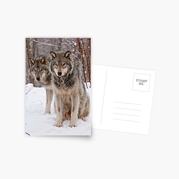 Timber Wolf Pair Postcard