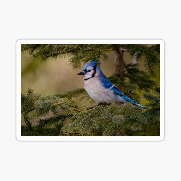 Blue Jay - Algonquin Park, Ontario Sticker
