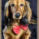 A very doxie Christmas 19 by Sarah Guiton