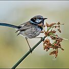 Fairy Wren - Laratinga Wetlands by Barb Leopold